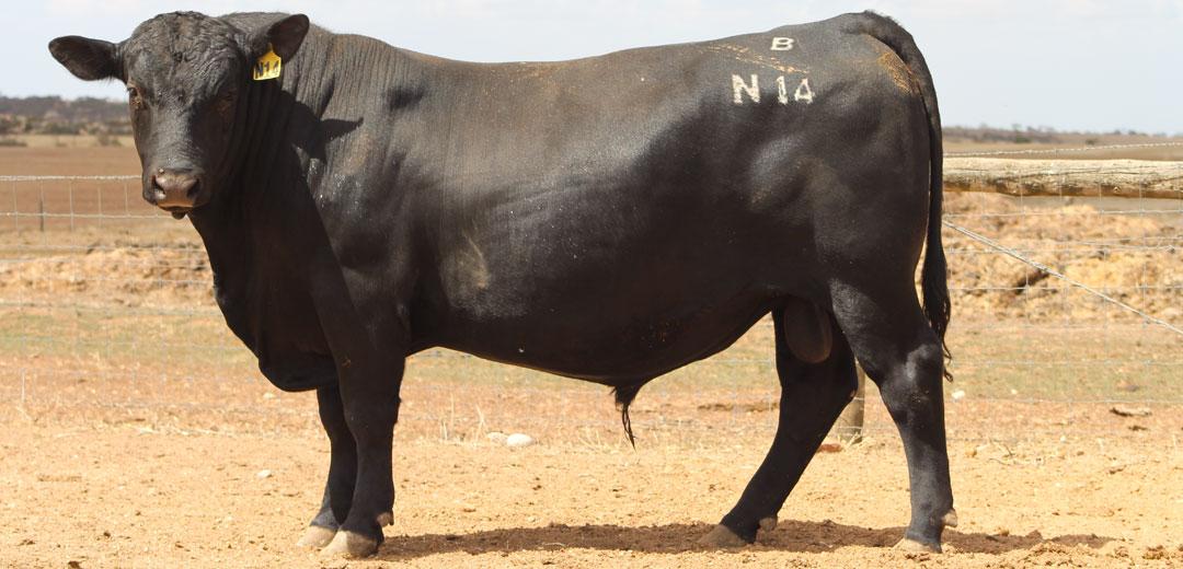SOP-N14-Broomfield-Black-Angus-Winulta-SA