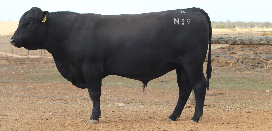 SOP-N19-Broomfield-Black-Angus-Winulta-SA