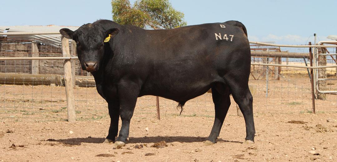 SOP-N47-Broomfield-Black-Angus-Winulta-SA